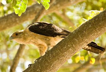 Yellow-headed Caracara Milvago chimachima